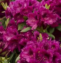 Cottage Gardens Nursery Rhododendron List Located In