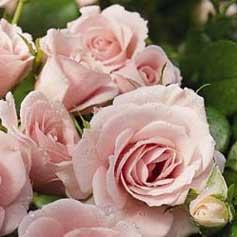Rosegrowing